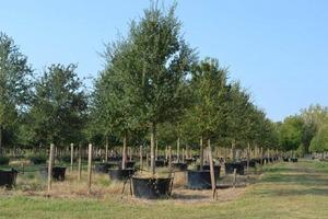 Live oak s300