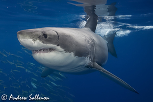 Great white shark 8851 s300