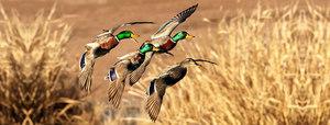 Ducks s300