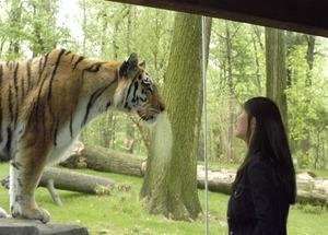 Tigru bronx zoo s300