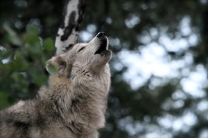 Gray wolf s300