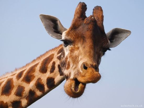 Giraffe s550