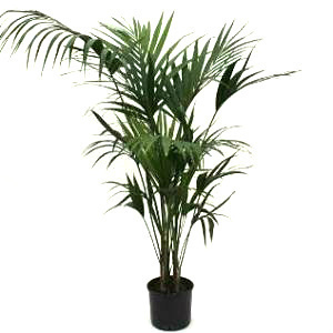 Kentia palms s300