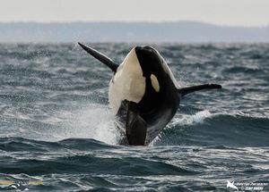 Orca breaching  1  s300