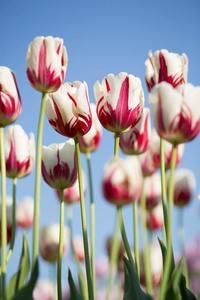 Tulips s300