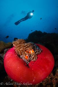 Philippines anemone s300