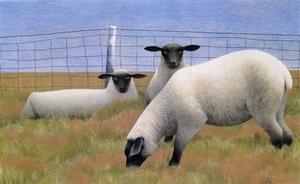 Colville three sheep s300
