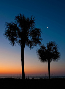 Sc palmetto tree s300