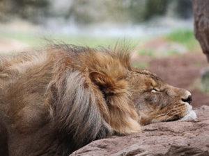 Lion zoo s300