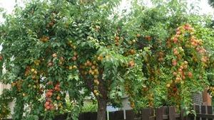 Fruittree s300