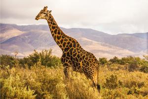 6 10 17 giraffe8729 s300