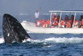 Whale adventures s300