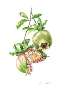 Olga koelsch lot1 green pomegranate s300