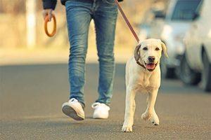 Lab yellow walking on leash s300